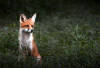 Red Fox, Maryland